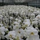 phalaenopsis-bianco